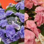 ピンクとブルーどっちにする?気品が漂う鉢植えアジサイ「フェアリーアイ」