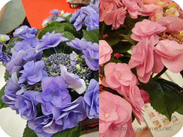 ピンクとブルーの紫陽花