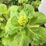 昨年の母の日鉢植えアジサイ「華あられ」が蕾を持ちました。