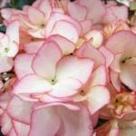 母の日ギフトにお花を贈るなら、紫陽花がおすすめですよ。