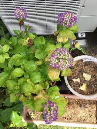 鉢植え紫陽花「華あられ」