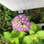 イイハナ・ドットコムで母の日に買った鉢植え紫陽花「華あられ」小さいけど翌年も咲きました。
